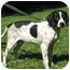 Photo 3 - German Shorthaired Pointer Puppy for adoption in Jacksonville, Florida - Gussie
