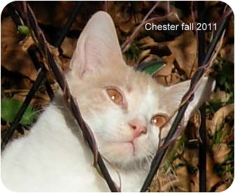 Domestic Shorthair Kitten for adoption in Lexington, Missouri - Chester