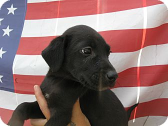 Labrador Retriever/Border Collie Mix Puppy for adoption in Indianapolis, Indiana - Dirk