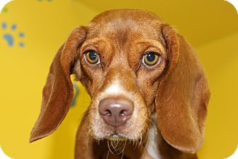Beagle Mix Dog for adoption in HARRISONVILLE, Missouri - Abby