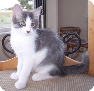 Domestic Mediumhair Kitten for adoption in Colorado Springs, Colorado - K-Norma Jean1-Picasso