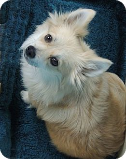 Pomeranian Mix Dog for adoption in La Habra Heights, California - Farrah