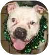 American Bulldog Mix Dog for adoption in Eatontown, New Jersey - Billy
