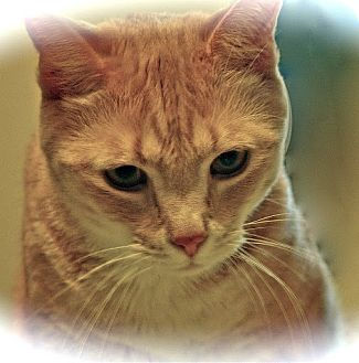 Domestic Mediumhair Cat for adoption in Alexandria, Virginia - Skeeter