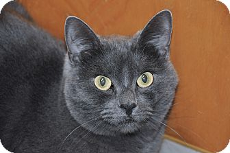 Russian Blue Cat for adoption in Foothill Ranch, California - Maxine