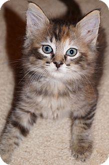 Maine Coon Kitten for adoption in Jacksonville, Florida - Sheba