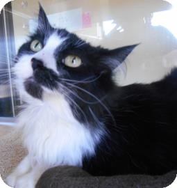 Domestic Longhair Cat for adoption in Lewisville, Texas - Nina