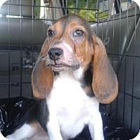 Adopt A Pet :: Bacon - Phoenix, AZ