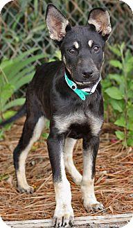 German Shepherd Dog Mix Puppy for adoption in Los Angeles, California - Carrie von Corter
