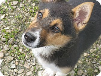 Shepherd (Unknown Type)/Beagle Mix Puppy for adoption in Memphis, Michigan - Annabell now Alex