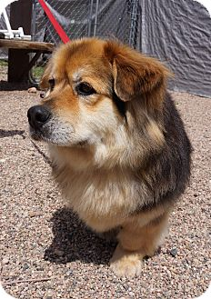 Corgi/Chow Chow Mix Dog for adoption in Fort Collins, Colorado - McDuff