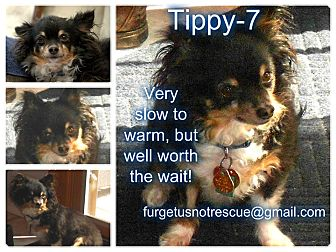 Chihuahua Mix Dog for adoption in Hazel Park, Michigan - Tippy