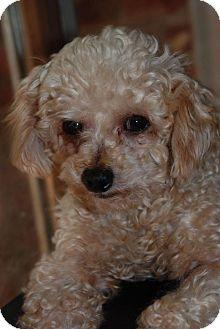 Poodle (Miniature) Dog for adoption in Dahlgren, Virginia - Urban