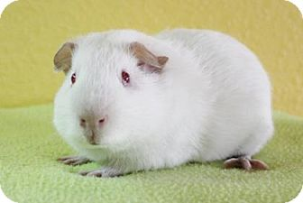 Guinea Pig for adoption in Benbrook, Texas - Casper