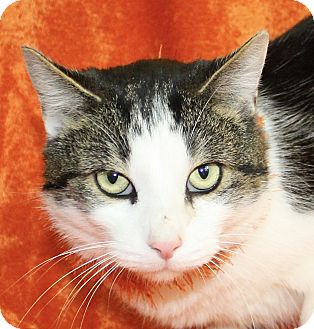 Domestic Shorthair Cat for adoption in Jackson, Michigan - William