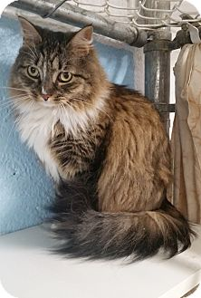 Maine Coon Cat for adoption in Freeport, New York - Jade