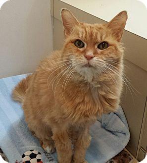 Domestic Longhair Cat for adoption in New Kensington, Pennsylvania - Oatmeal