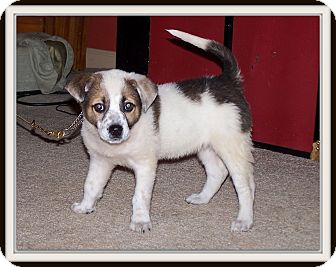 Jack Russell Terrier Mix Puppy for adoption in Milford, New Jersey - Missy