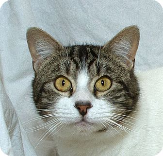 Domestic Shorthair Cat for adoption in Sacramento, California - Sable M