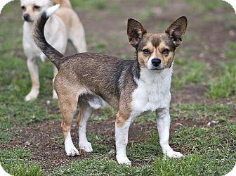 Beagle/Chihuahua Mix Dog for adoption in Santa Ana, California - max (mk)