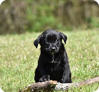 Border Collie/Labrador Retriever Mix Puppy for adoption in Groton, Massachusetts - Harper