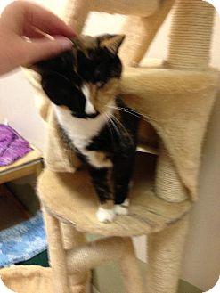 Calico Cat for adoption in Columbus, Ohio - Mustang Sally