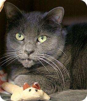 Russian Blue Cat for adoption in Staunton, Virginia - Minnie
