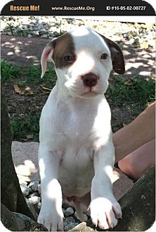American Bulldog Mix Puppy for adoption in Oviedo, Florida - Freckles
