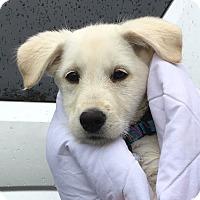Adopt A Pet :: *Brooklyn - PENDING - Westport, CT