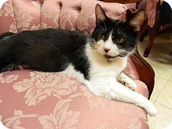 Domestic Shorthair Cat for adoption in The Colony, Texas - Jesse's Girl