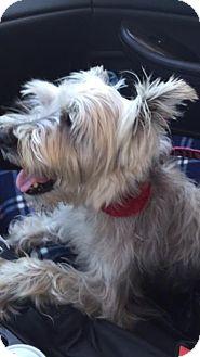 Standard Schnauzer Mix Dog for adoption in Alpharetta, Georgia - Ghandi
