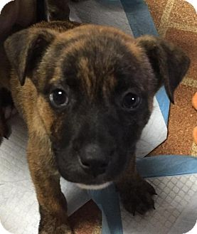 Shepherd (Unknown Type) Mix Puppy for adoption in Northville, Michigan - Lucy - Pending