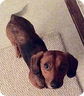 Dachshund Mix Dog for adoption in Grand Rapids, Michigan - Red
