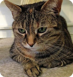 Domestic Shorthair Cat for adoption in Fairfax, Virginia - Gillian