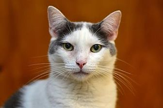 Domestic Shorthair Cat for adoption in Queens, New York - Griffin