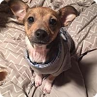 Adopt A Pet :: Chuck Todd - Jersey City, NJ