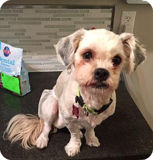 Maltese/Shih Tzu Mix Dog for adoption in Edmonton, Alberta - Megara (Maggie)