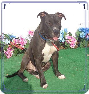 Pit Bull Terrier Mix Dog for adoption in Marietta, Georgia - CHANCE
