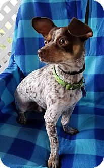 Chihuahua Mix Dog for adoption in Buffalo, New York - Radar