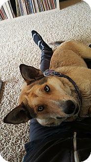 Husky/German Shepherd Dog Mix Dog for adoption in Kingston, Pennsylvania - Asha