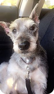 Miniature Schnauzer Dog for adoption in Sharonville, Ohio - Bosco