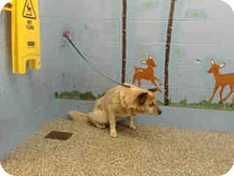 Akita Mix Dog for adoption in San Bernardino, California - URGENT on 8/11 SAN BERNARDINO