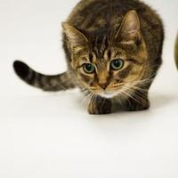 Adopt A Pet :: Clarabelle - Dayton, OH