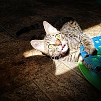 Adopt A Pet :: Kitten 16036 - Parlier, CA