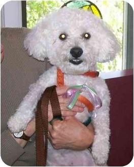 Bichon Frise Dog for adoption in Oak Ridge, New Jersey - Yaeger