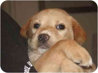 Golden Retriever/Labrador Retriever Mix Puppy for adoption in Upper Marlboro, Maryland - CREAMSICLE