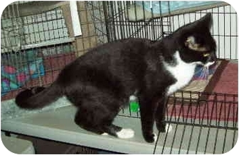 Domestic Shorthair Cat for adoption in Colmar, Pennsylvania - Treat