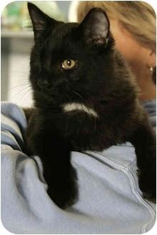 Domestic Longhair Cat for adoption in Fernandina Beach, Florida - Crewser