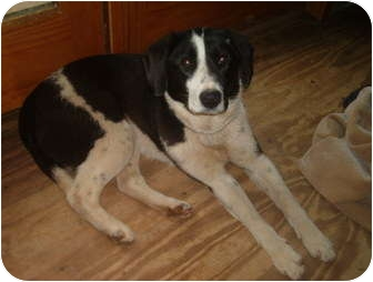 Labrador Retriever/Border Collie Mix Puppy for adoption in North Jackson, Ohio - Katie