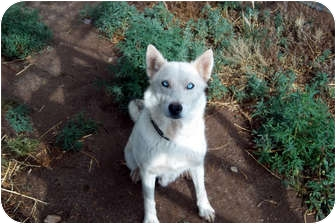 Shepherd (Unknown Type)/Husky Mix Dog for adoption in Broomfield, Colorado - Libby